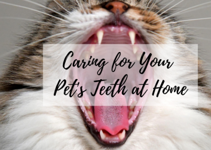 Caring for Your Pet's Teeth at Home