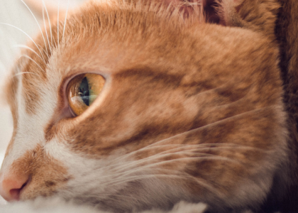 What is Feline Lower Urinary Tract Disease (FLUTD)?